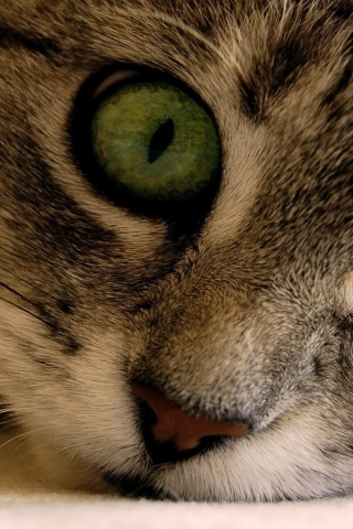 Green Eye Manx Cat for 320 x 480 iPhone resolution