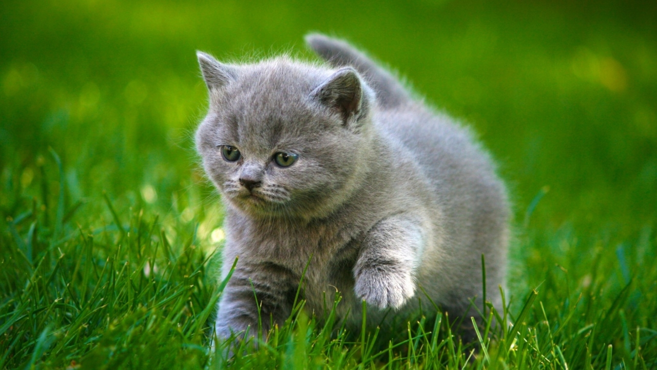 Grey Little Kitty for 1280 x 720 HDTV 720p resolution