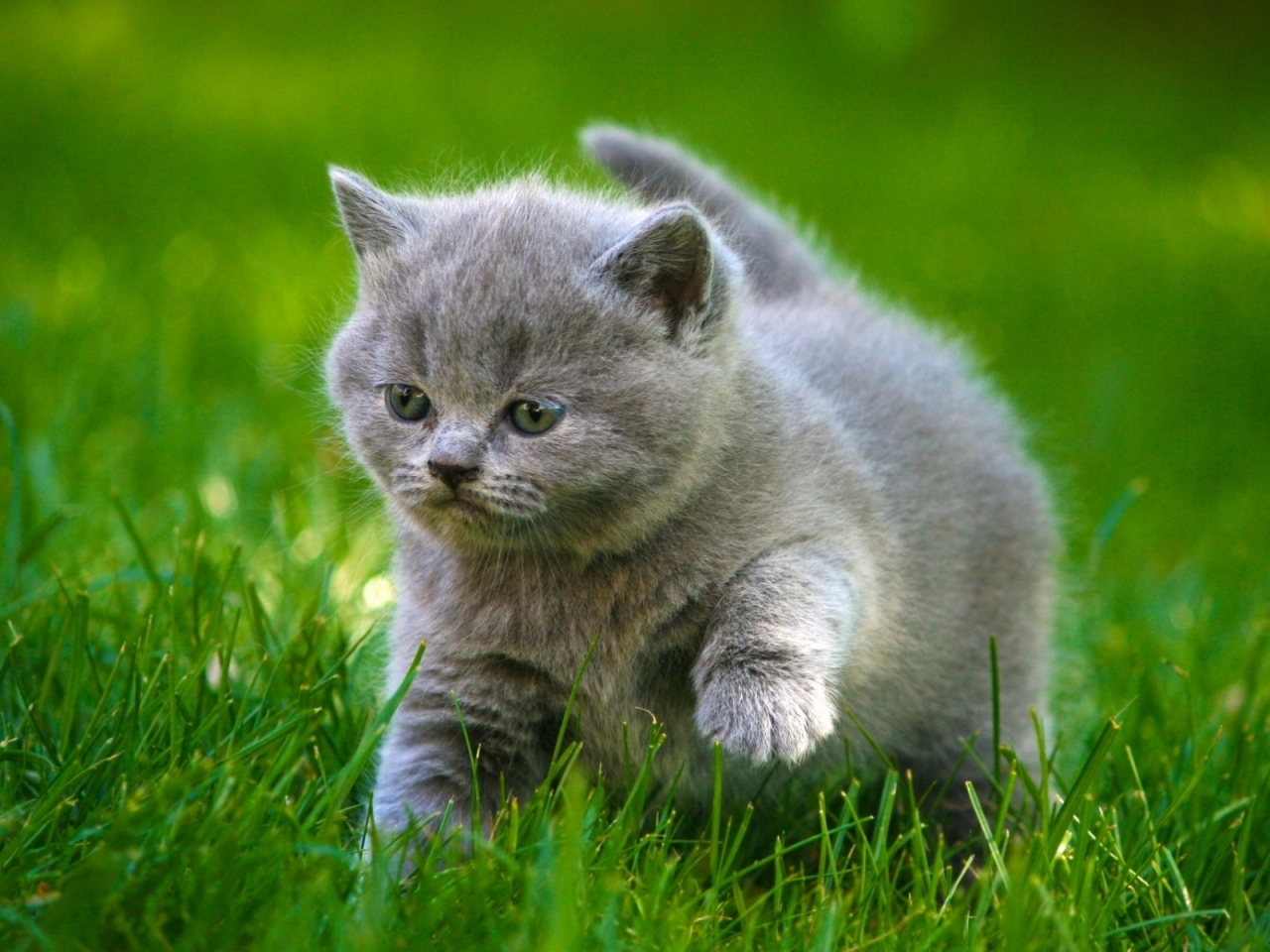 Grey Little Kitty for 1280 x 960 resolution