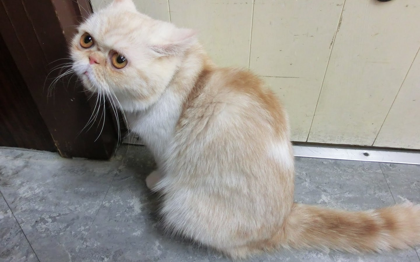 Innocent Munchkin Cat for 1440 x 900 widescreen resolution