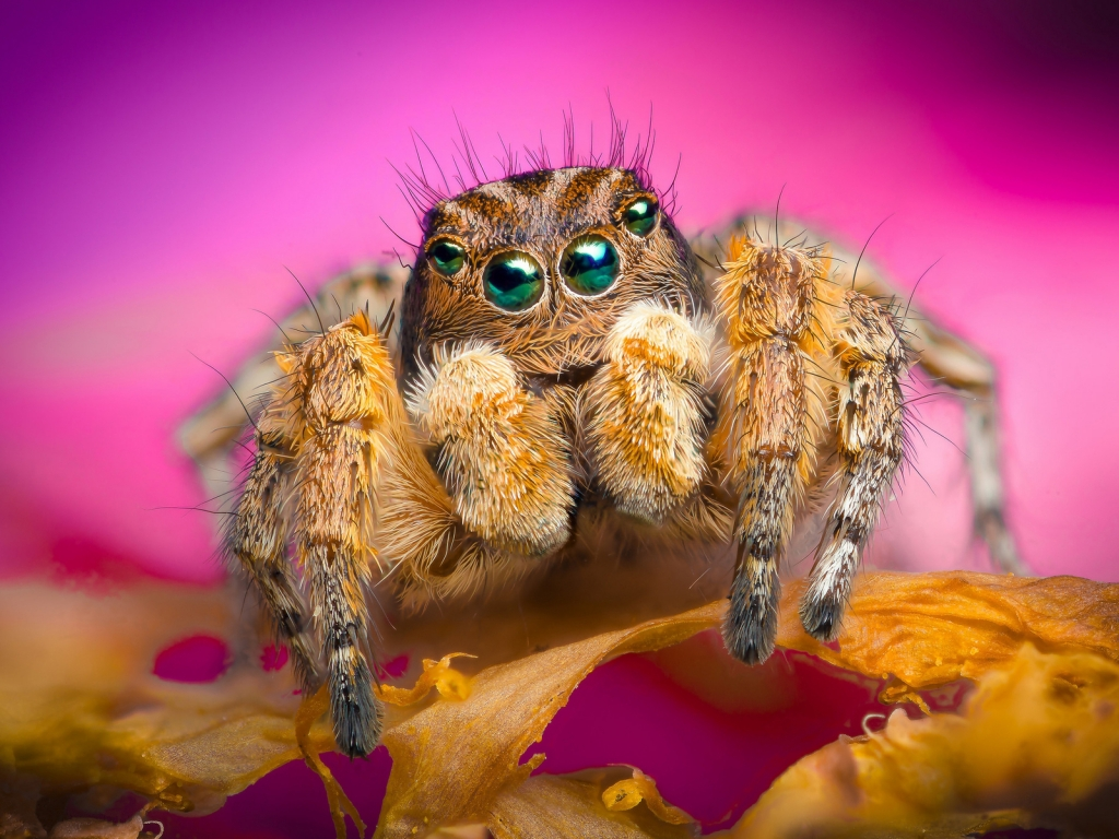 http://wallpaperfx.com/view_image/jumping-spider-1024x768-wallpaper-17186.jpg