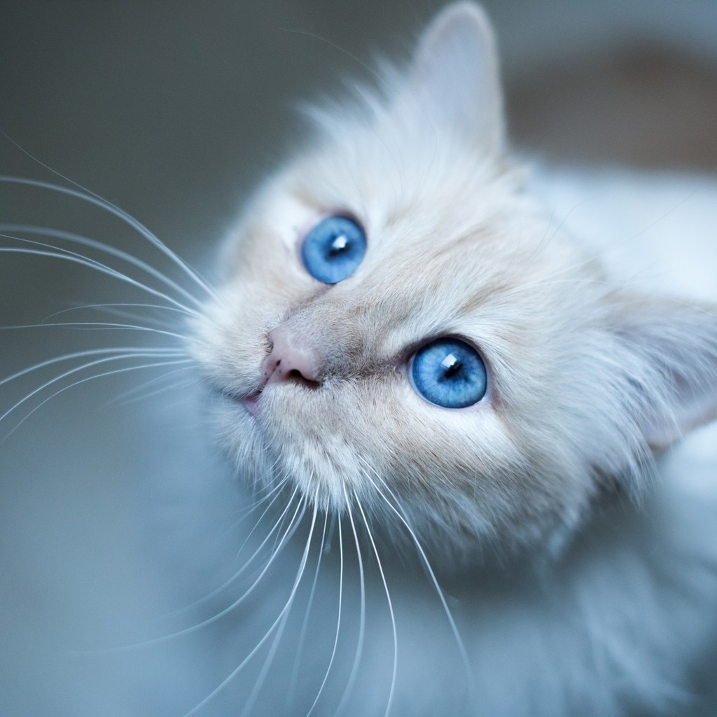 Kitty Blue Eyes for 1024 x 1024 iPad resolution