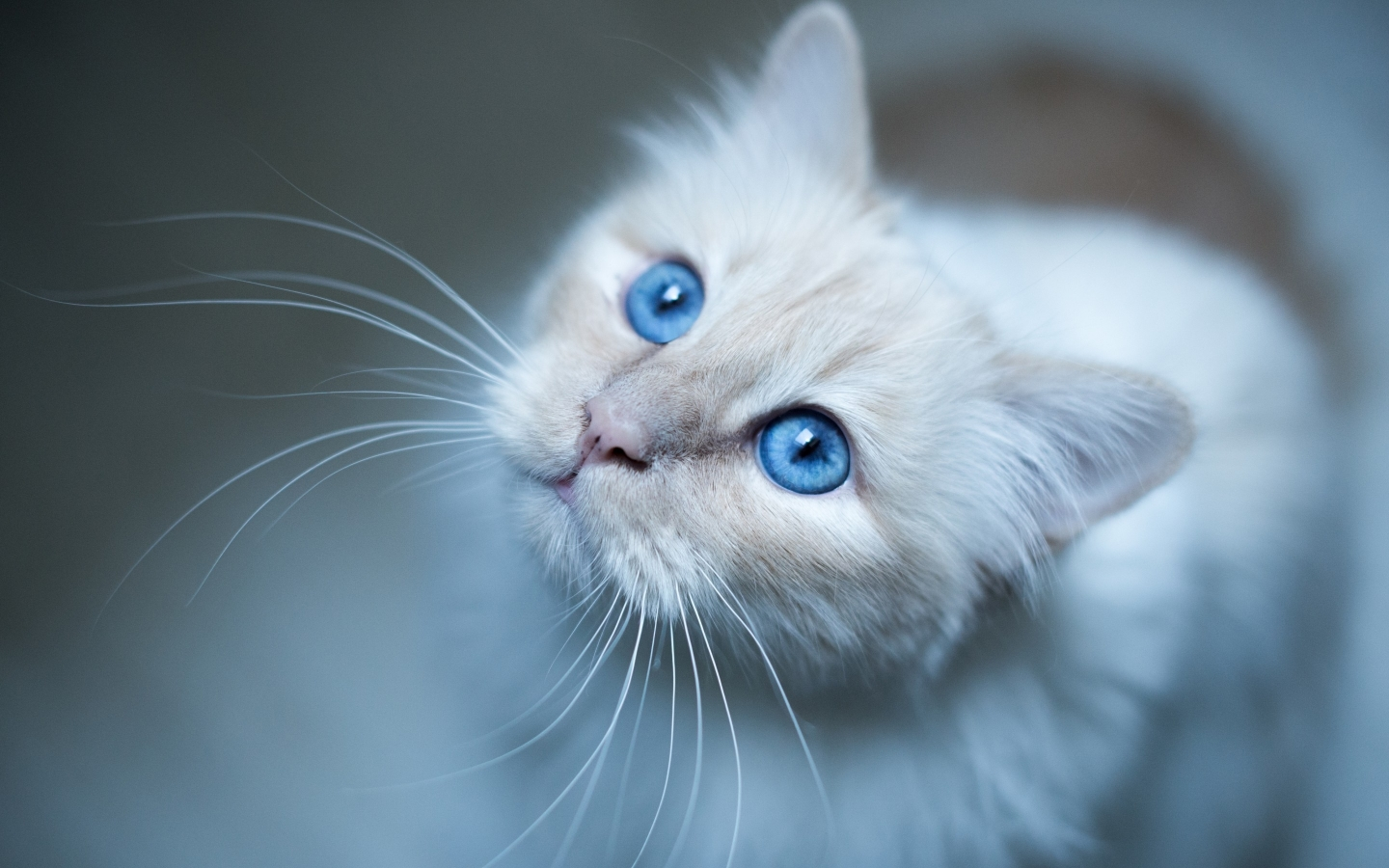 Kitty Blue Eyes for 1440 x 900 widescreen resolution