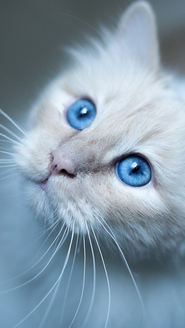 Kitty Blue Eyes for 640 x 1136 iPhone 5 resolution