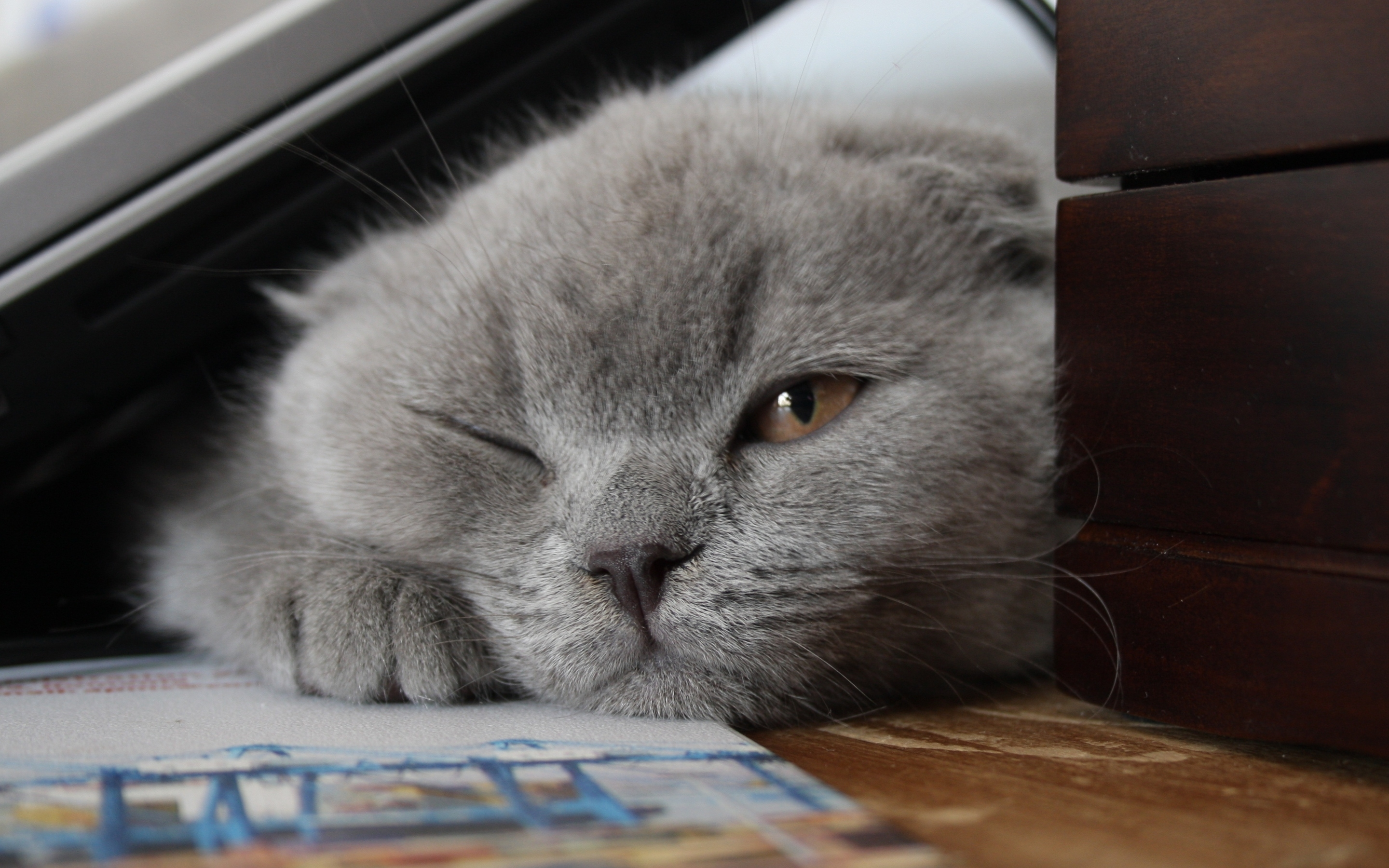 Little Scottish Fold Cat for 2880 x 1800 Retina Display resolution