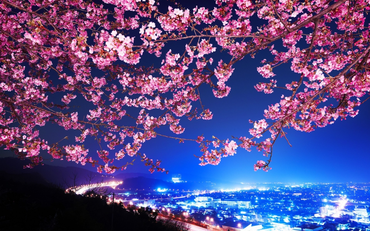 Lovely Cherry Blossom for 1280 x 800 widescreen resolution