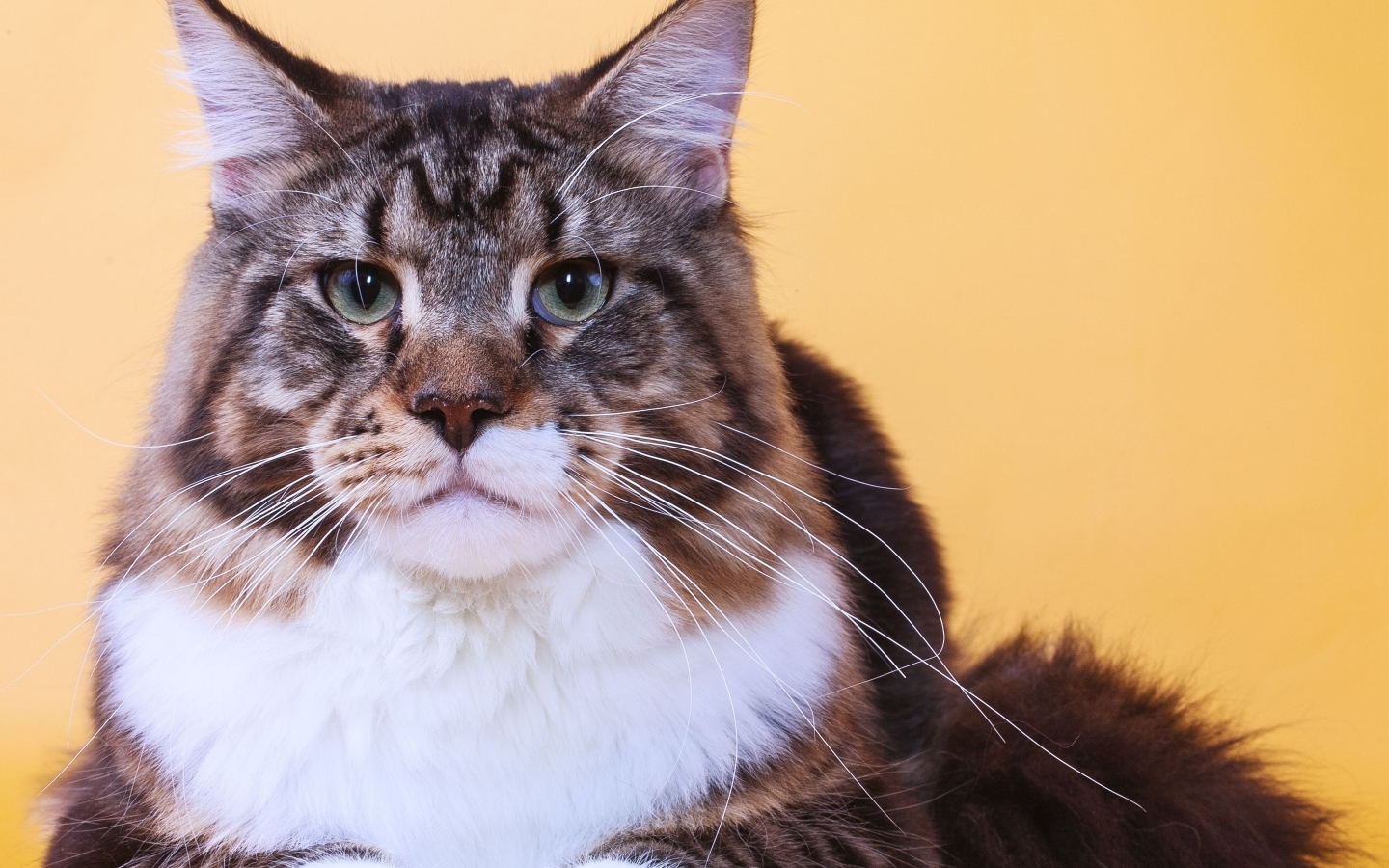 Maine Coon Cat Close Up for 1440 x 900 widescreen resolution