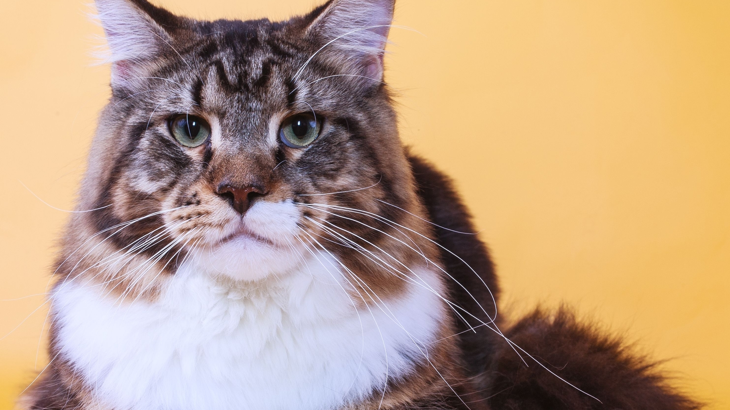Maine Coon Cat Close Up for 2560x1440 HDTV resolution