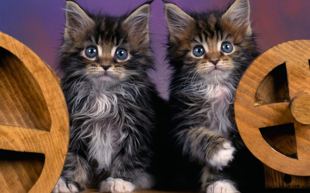 Maine Coon Kittens for 1280 x 800 widescreen resolution
