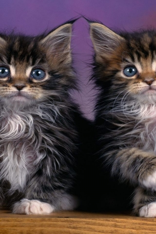 Maine Coon Kittens for 320 x 480 iPhone resolution