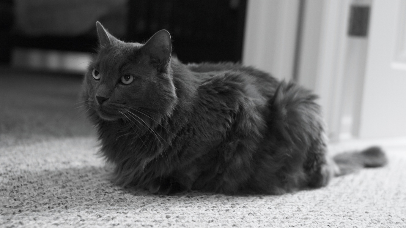 Monochrome Nebelung Cat for 1366 x 768 HDTV resolution