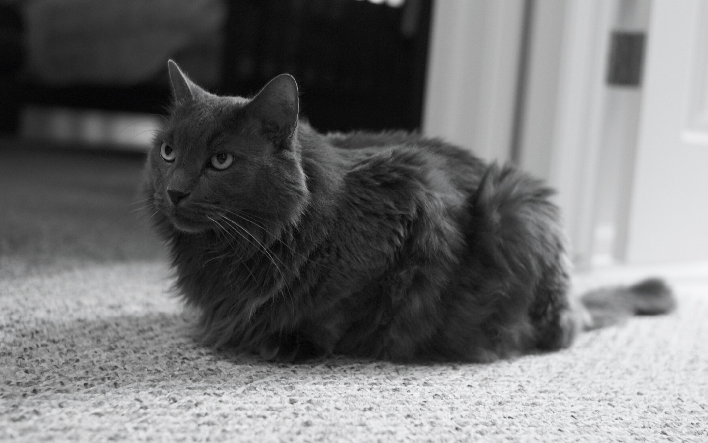 Monochrome Nebelung Cat for 1440 x 900 widescreen resolution