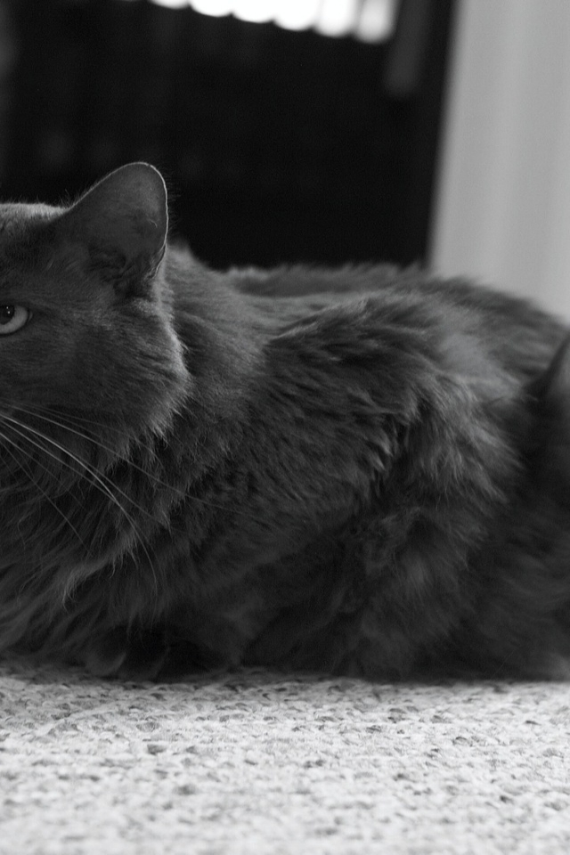 Monochrome Nebelung Cat for 640 x 960 iPhone 4 resolution