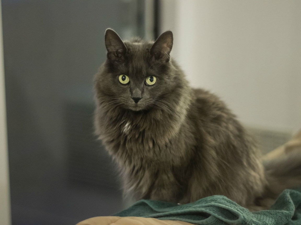 Nebelung Cat for 1152 x 864 resolution