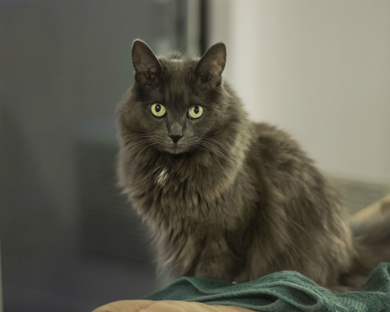 Nebelung Cat for 1280 x 1024 resolution