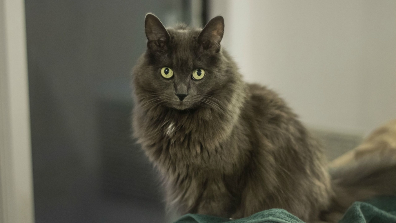 Nebelung Cat for 1366 x 768 HDTV resolution