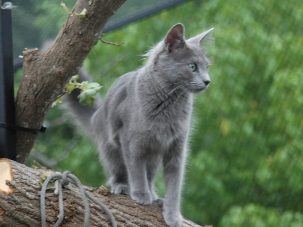 Nebelung Cat on Stump for 1024 x 768 resolution