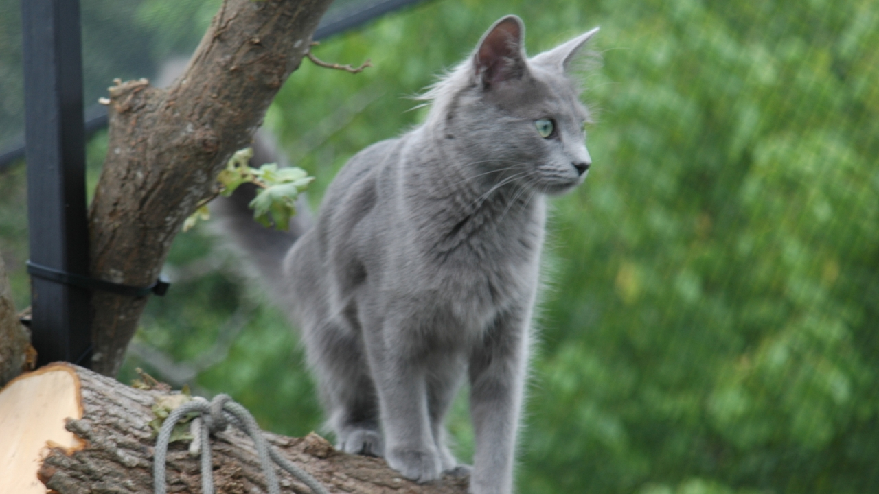 Nebelung Cat on Stump for 1280 x 720 HDTV 720p resolution