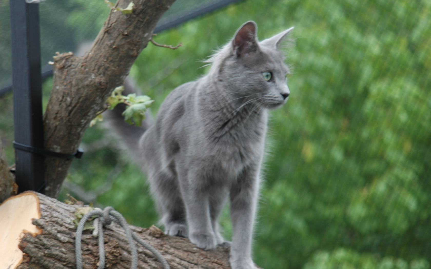 Nebelung Cat on Stump for 1680 x 1050 widescreen resolution