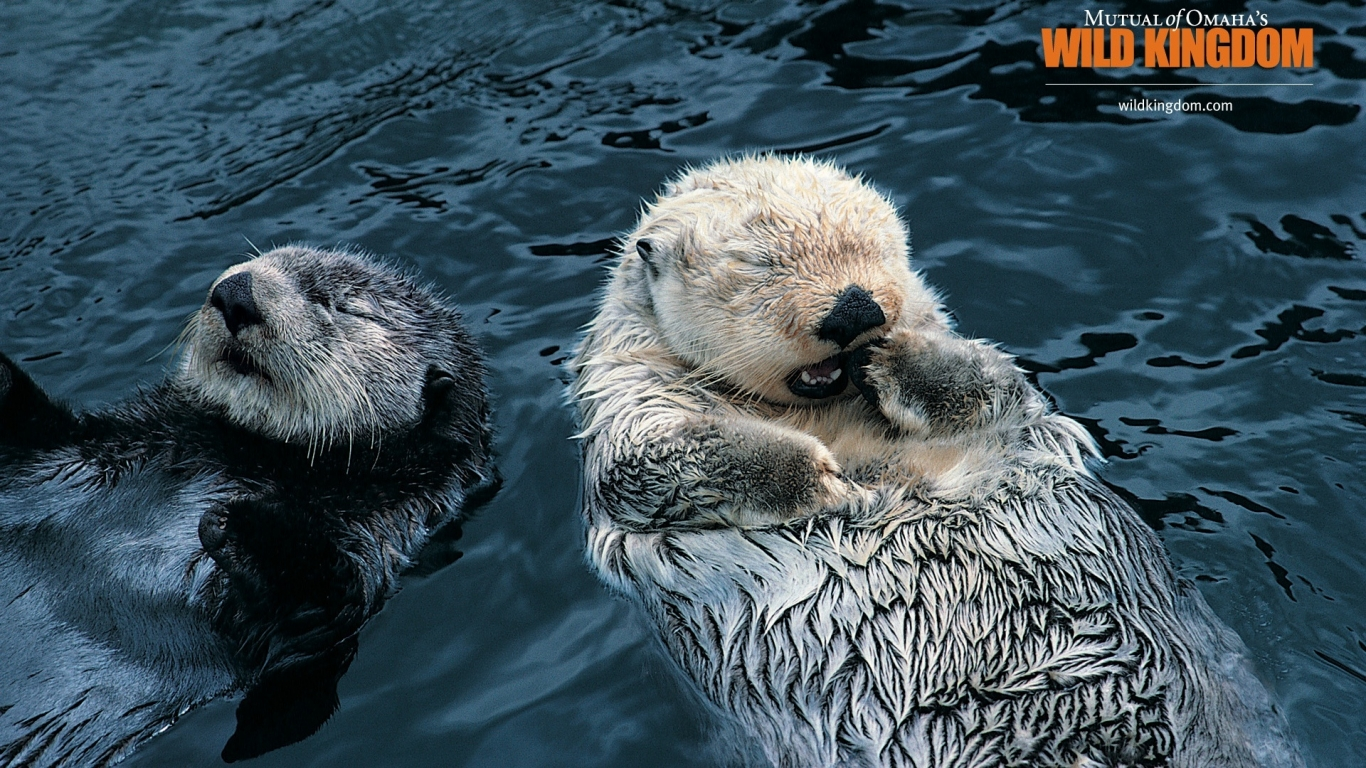 Otters for 1366 x 768 HDTV resolution