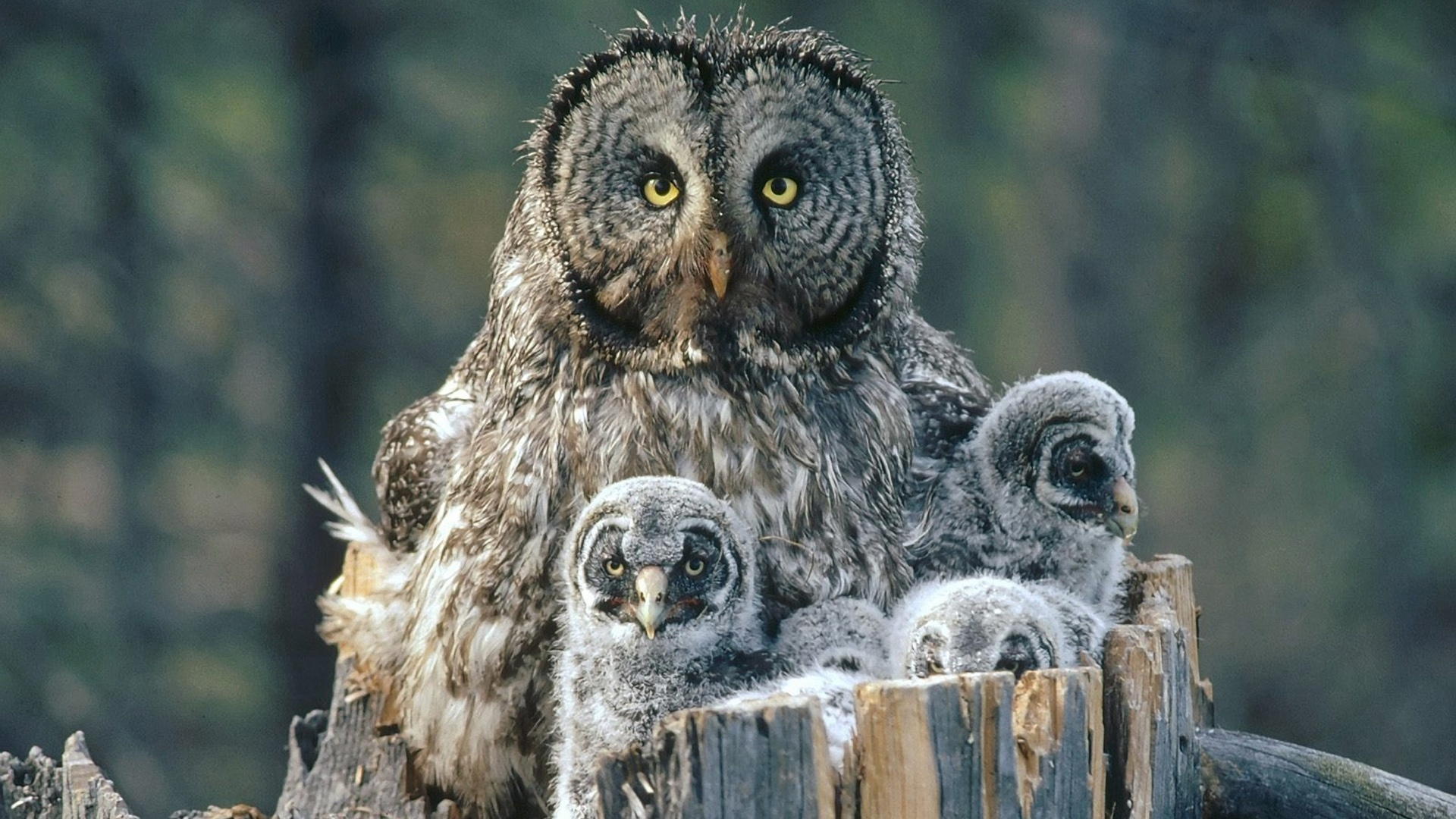 Cute owls family on white background Royalty Free