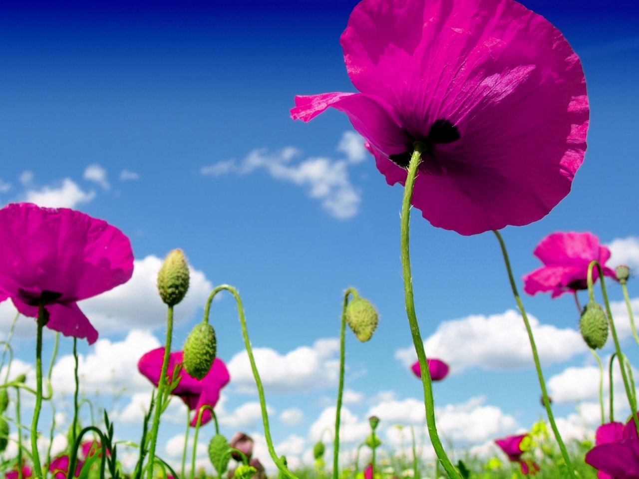 Pink Poppies for 1280 x 960 resolution