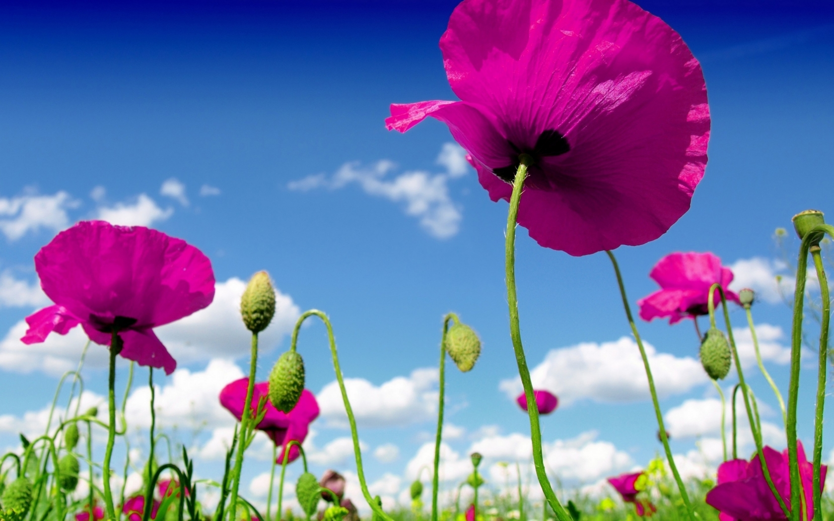 Pink Poppies for 1680 x 1050 widescreen resolution
