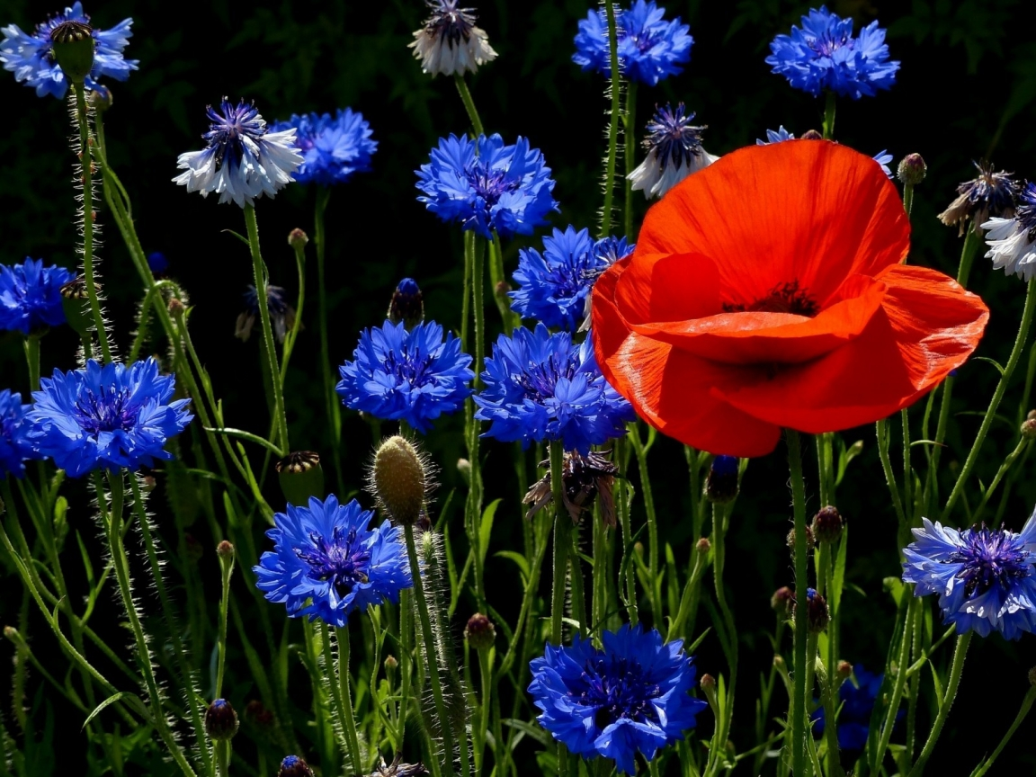 Poppies and Cornflowers for 1152 x 864 resolution