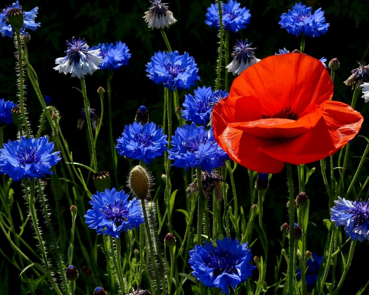 Poppies and Cornflowers for 1280 x 1024 resolution