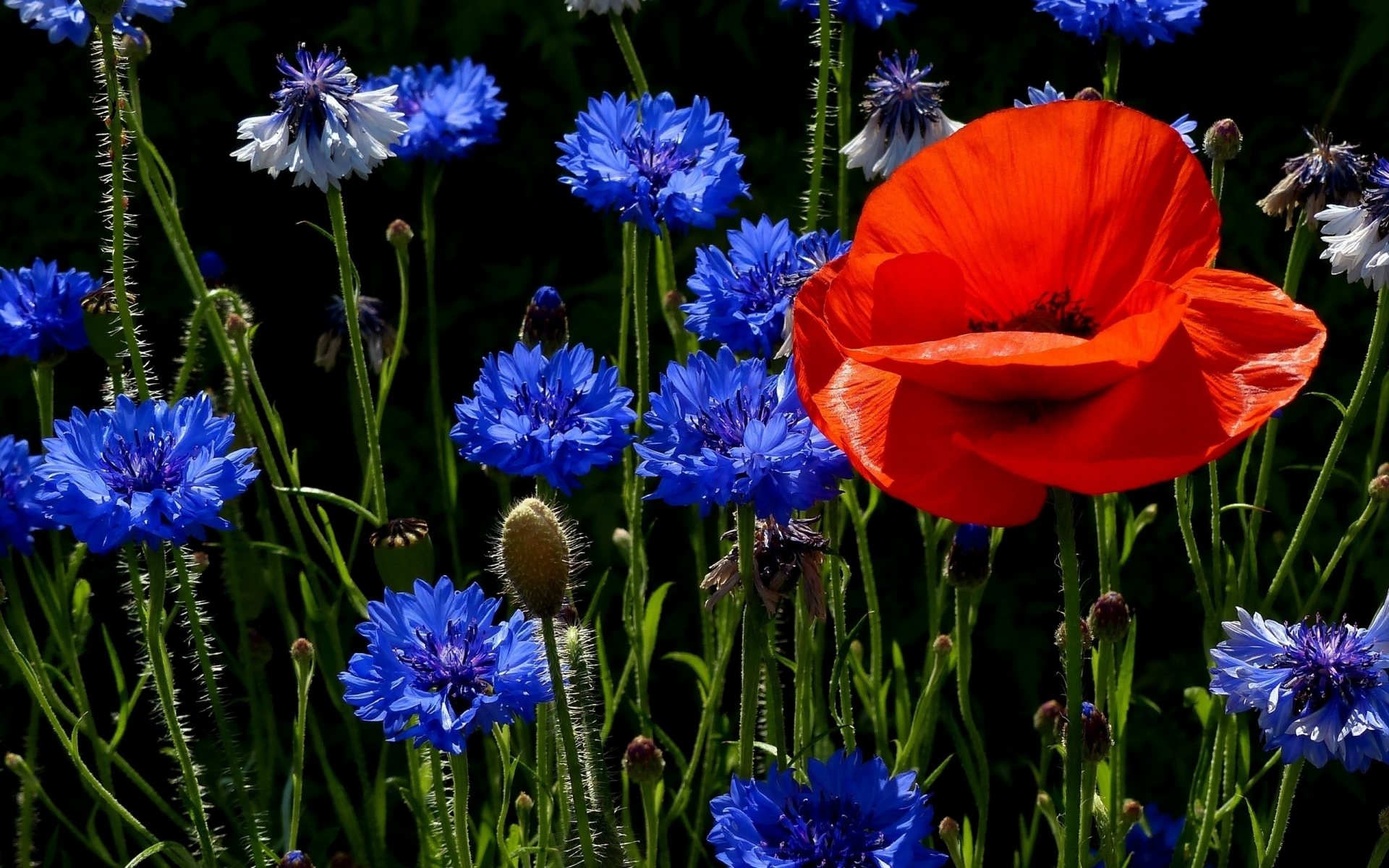Poppies and Cornflowers for 1920 x 1200 widescreen resolution