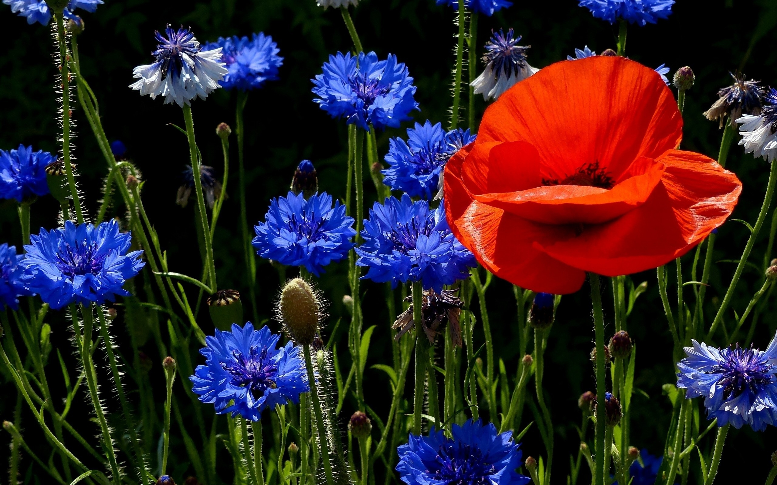 Poppies and Cornflowers for 2560 x 1600 widescreen resolution