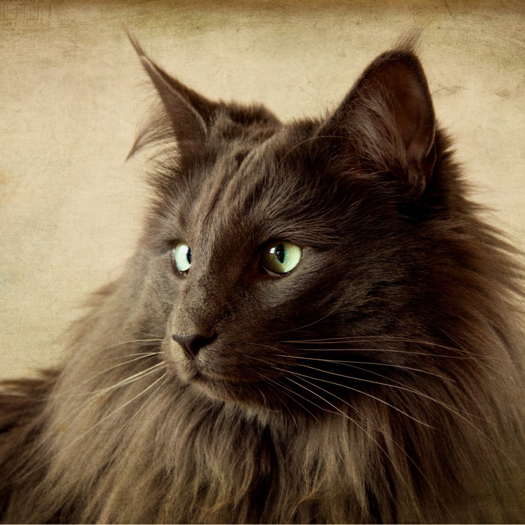 Portrait of Black Nebelung Cat for 1024 x 1024 iPad resolution