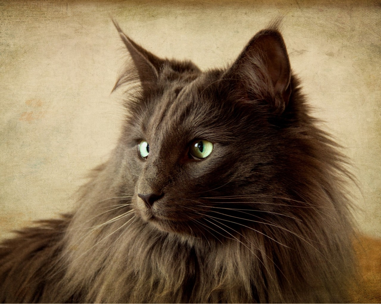 Portrait of Black Nebelung Cat for 1280 x 1024 resolution