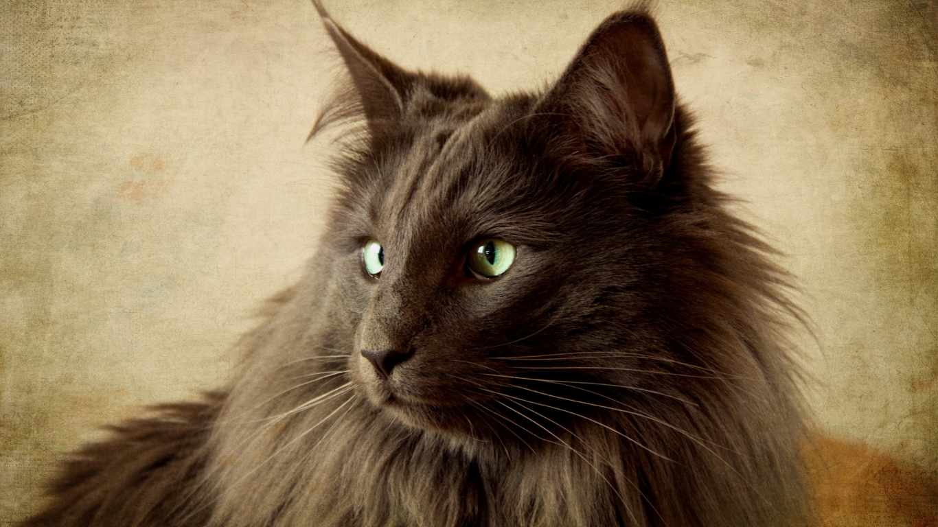 Portrait of Black Nebelung Cat for 1366 x 768 HDTV resolution