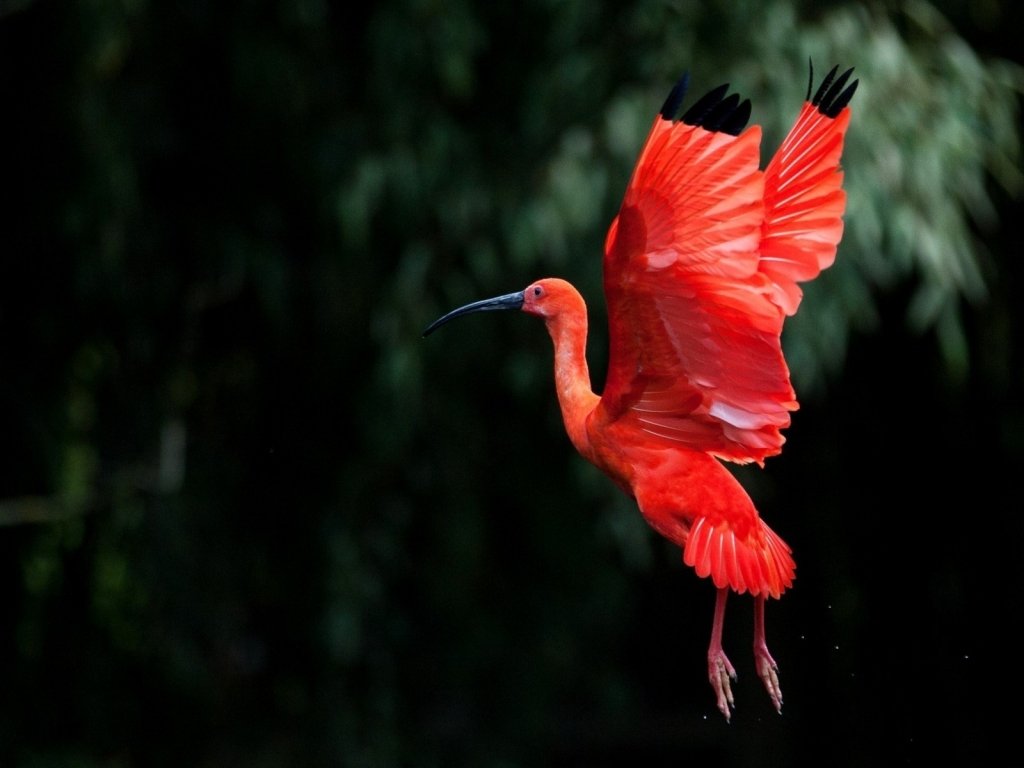 Red Ibis bird Flying for 1024 x 768 resolution