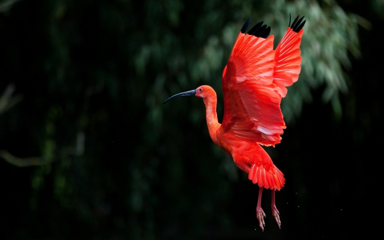 Red Ibis bird Flying for 1280 x 800 widescreen resolution
