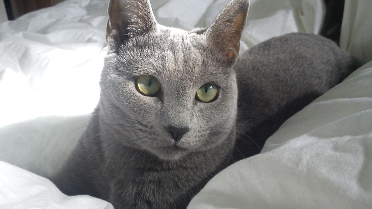 Russian Blue Cat in Bed for 1280 x 720 HDTV 720p resolution