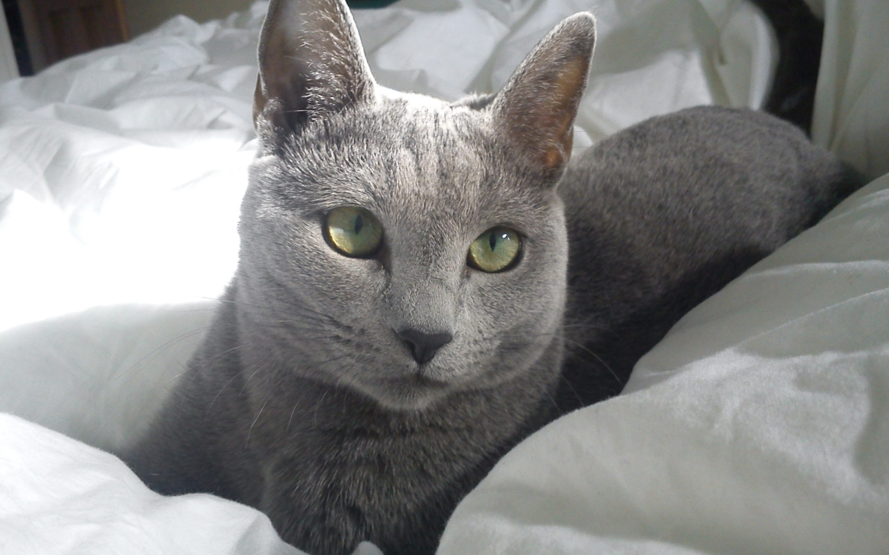Russian Blue Cat in Bed for 1280 x 800 widescreen resolution