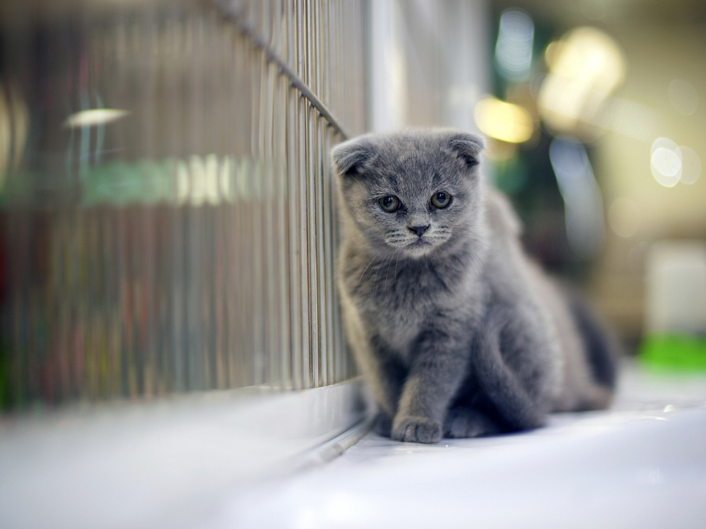 Sad Gray Scottish Fold Cat for 1024 x 768 resolution