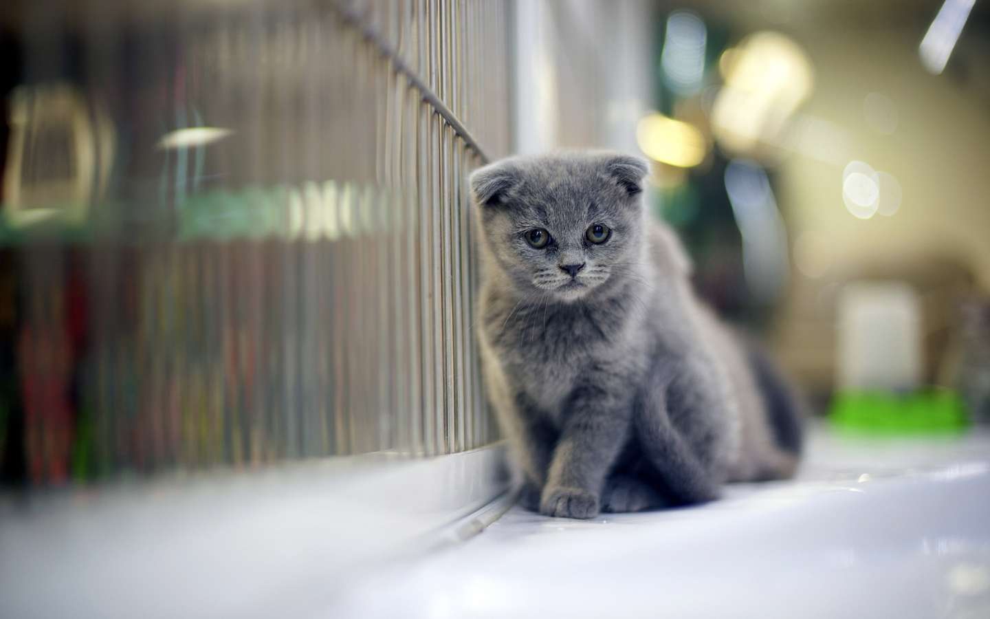 Sad Gray Scottish Fold Cat for 1440 x 900 widescreen resolution