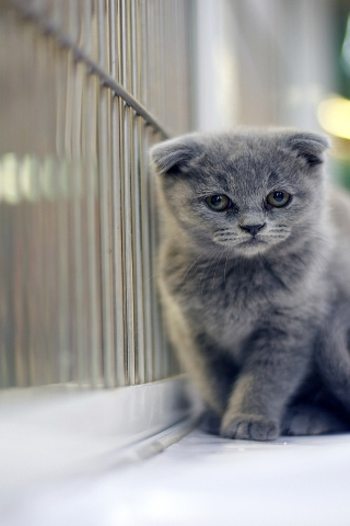 Sad Gray Scottish Fold Cat for 320 x 480 iPhone resolution