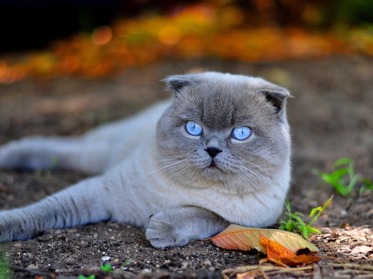 Scottish Fold Cat in Nature for 1280 x 960 resolution