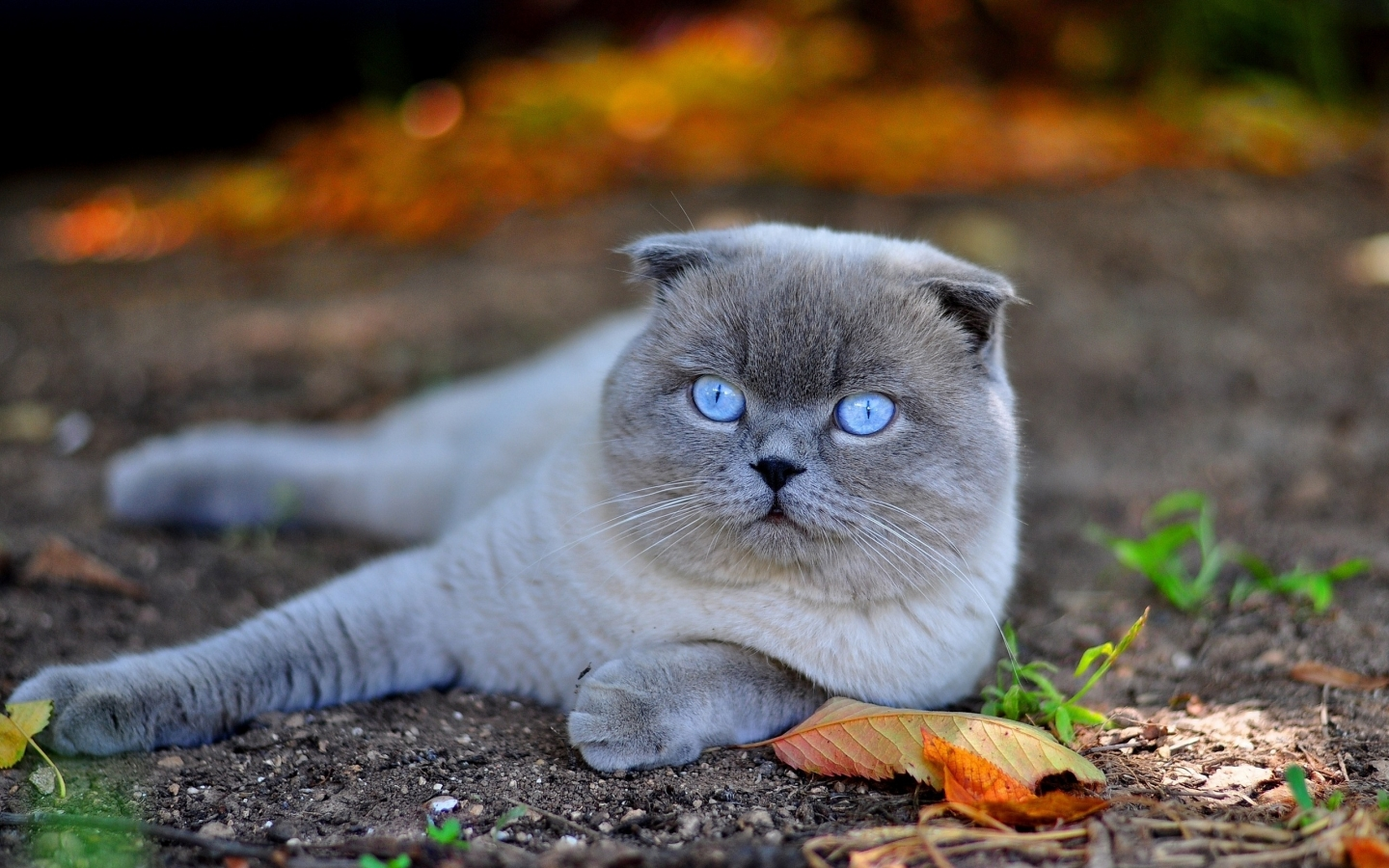 Scottish Fold Cat in Nature for 1440 x 900 widescreen resolution