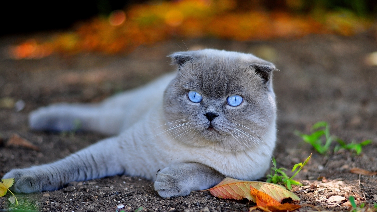 Scottish Fold Cat in Nature for 1536 x 864 HDTV resolution