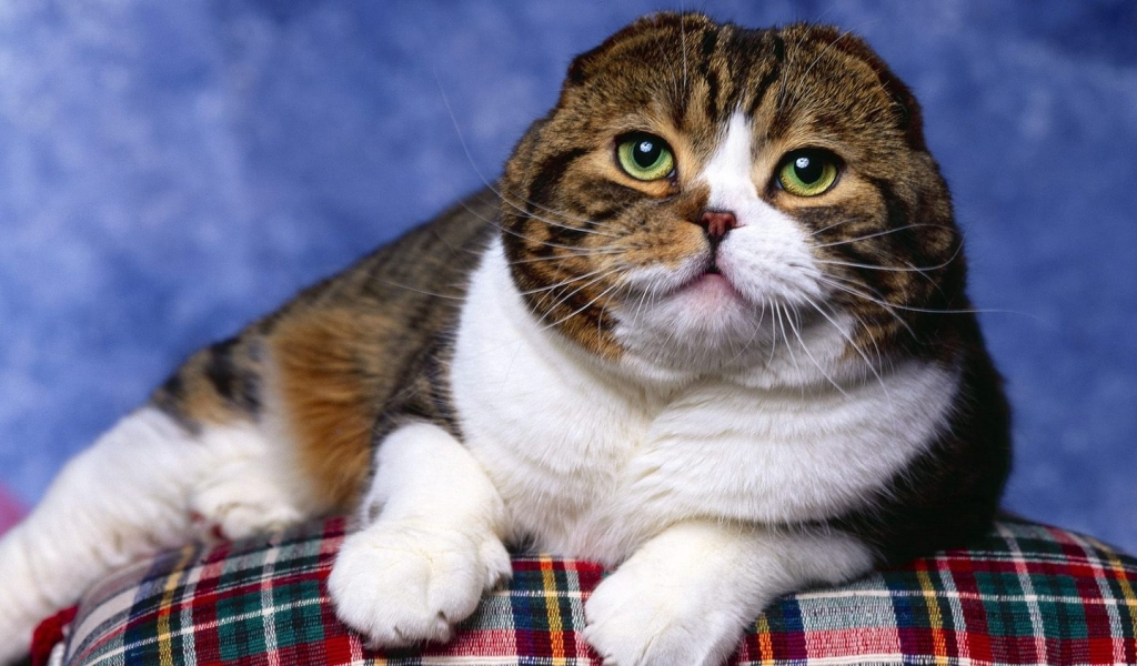 Scottish Fold Cat Photo Shoot for 1024 x 600 widescreen resolution
