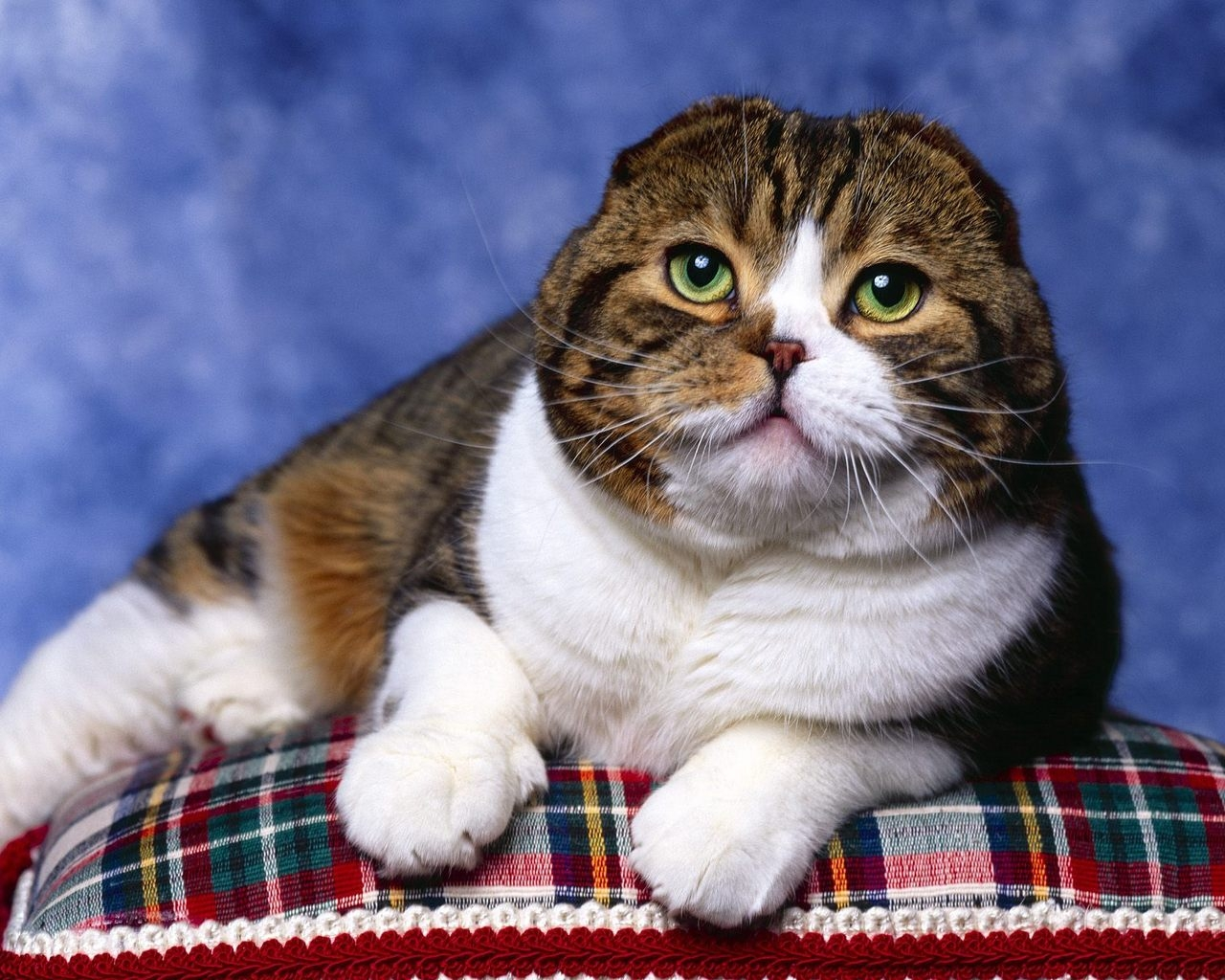 Scottish Fold Cat Photo Shoot for 1280 x 1024 resolution
