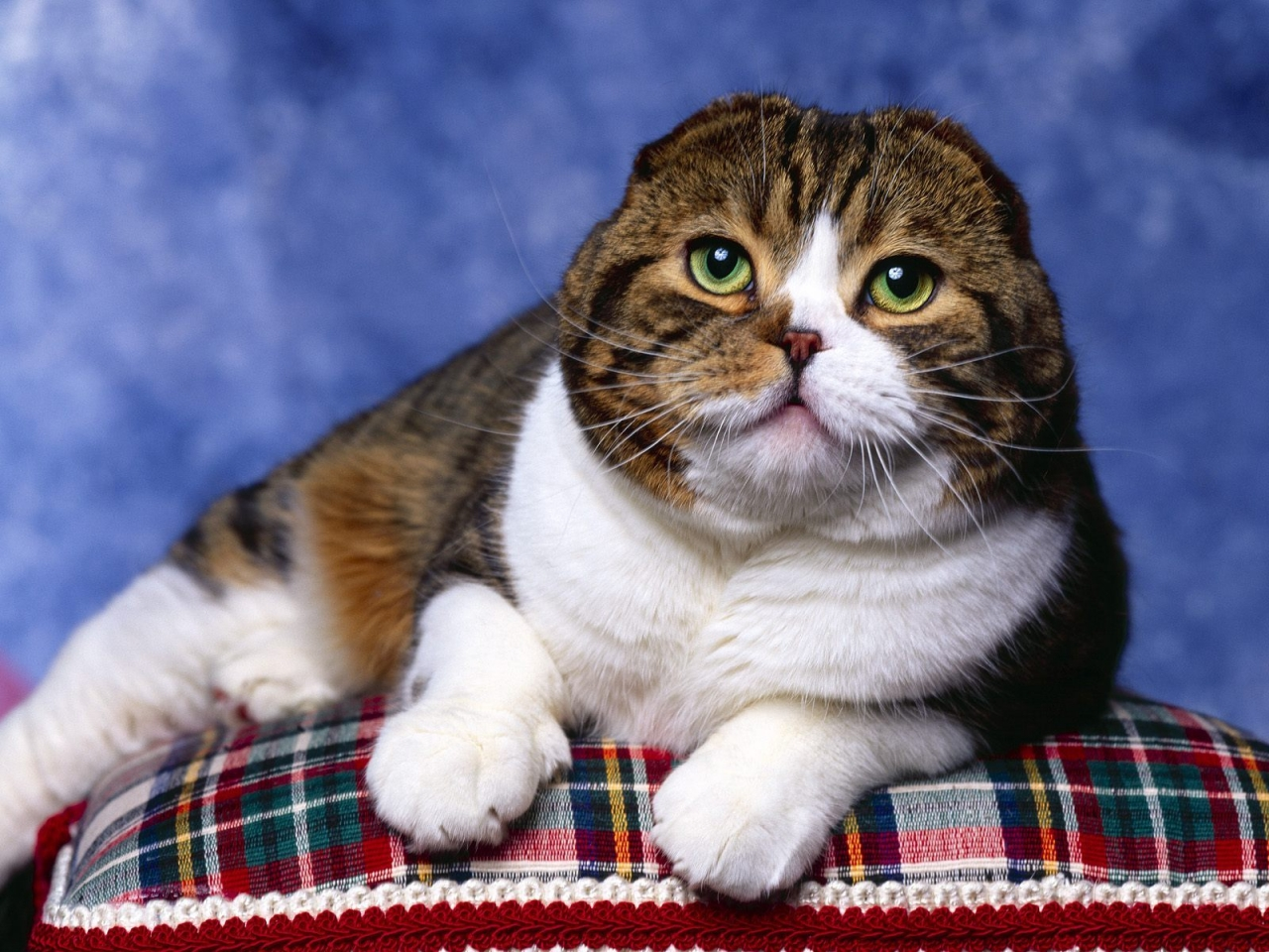 Scottish Fold Cat Photo Shoot for 1280 x 960 resolution