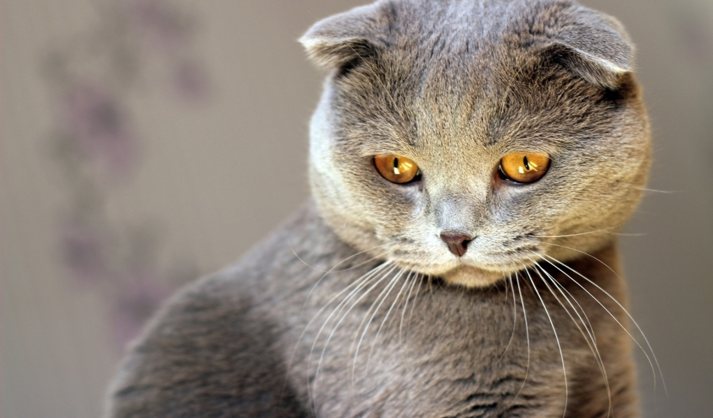 Scottish Fold Cat Red Eyes for 1024 x 600 widescreen resolution