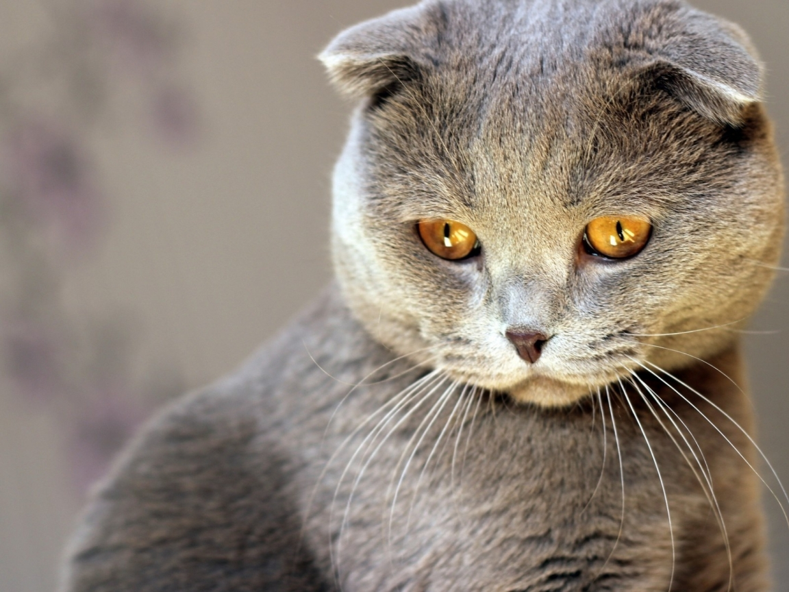 Scottish Fold Cat Red Eyes for 1152 x 864 resolution