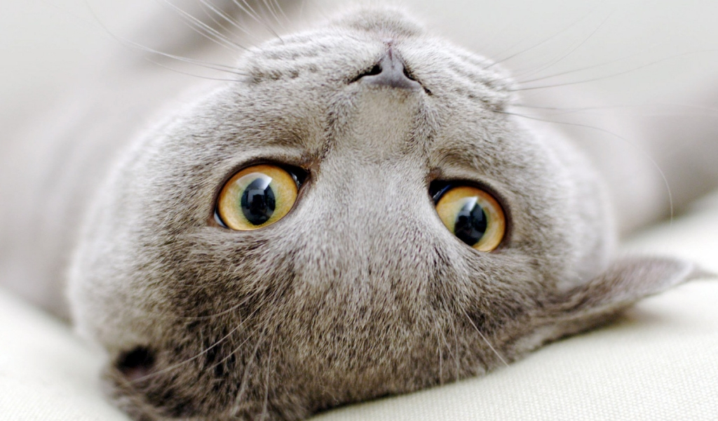 Scottish Fold Cat Sprawled for 1024 x 600 widescreen resolution
